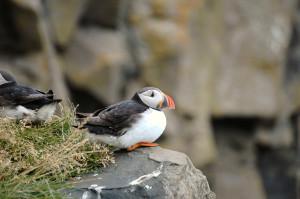Island reseskildlring Lunnefågel,Puffins