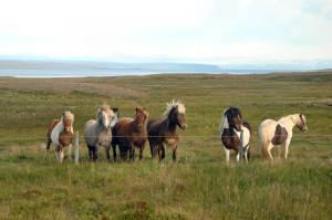 Island reseskildring islandshästar Neymar