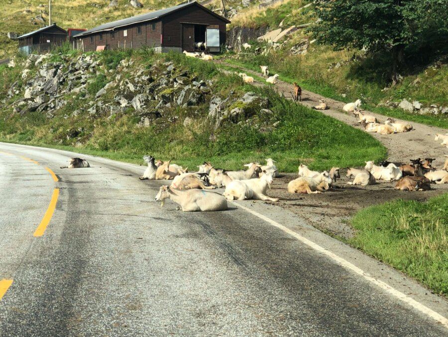 I Norge sover getterna på vägen